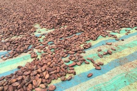 Kakao Trocknung Ecuador Kopie