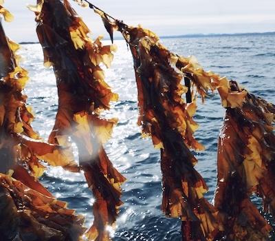 NordicOceanfruit Algen